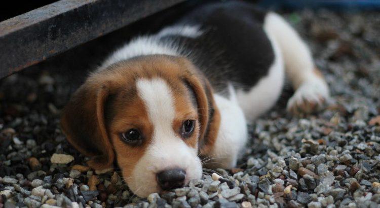 perchè i cani scondinzolano